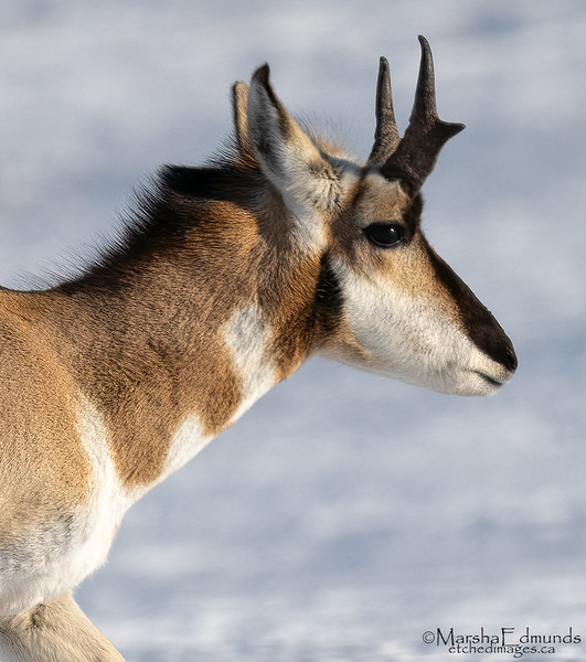 A Young Buck - Pronghorn