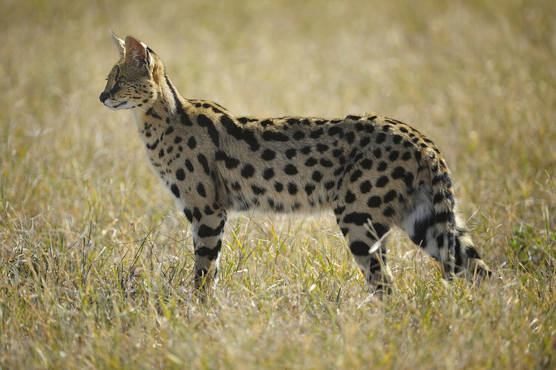 Serval Cat, Ngorongoro Crater, Tanzania, East Africa