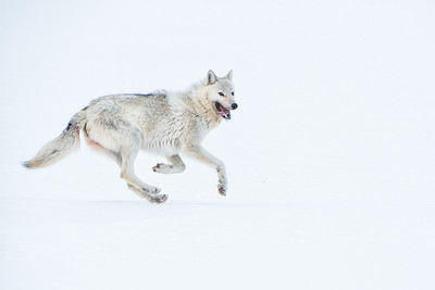 A white wolf dances across the snow covered tundra of Northern Alaska. The wolf and wolverine have an interesting relationship. Wolverines scavenge wolf killed carcasses for much of their sustenance. They depend on wolves for food, however wolves seem to despise wolverines and will chase them down and kill them when they encounter them.