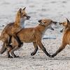 Red Fox Kits Playing 5/31/21
