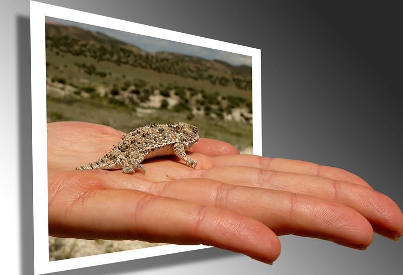 Here, have a hand... of Short-horned Lizard