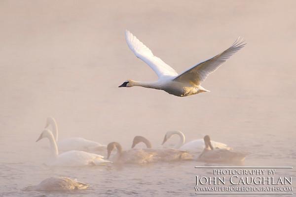Swans(flight1f)