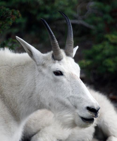 Alpine Mountain Goat - Jasper National Park