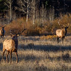 Three bull elk in Beaver Meadow, Rocky Mountain National Park, Colorado