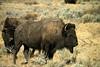 Bison, Teton National Park