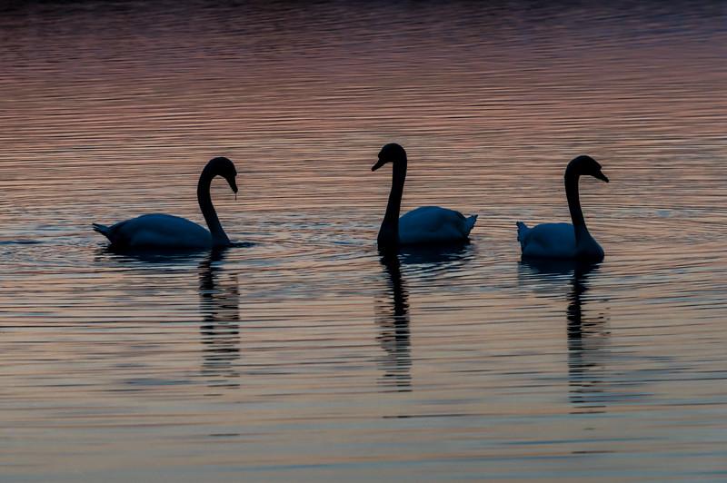 Swans at Dusk 12/7/16