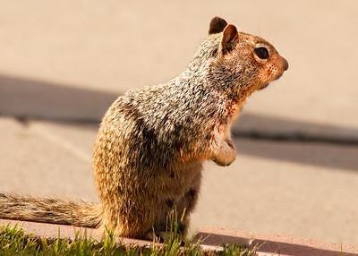 Squirrel 4485