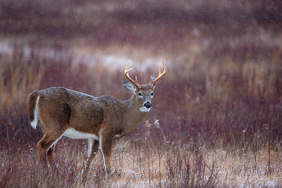 Snowy Morning Buck in the Meadow