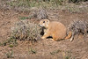Cute Little Prairie Dog
