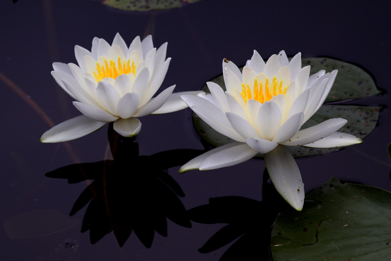 Water Lillies - Schlitz Audubon Nature Center