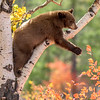 Black Bear Cub Reaching for Black Hawthorn, Climbing the Aspen Seemed Like a Good Idea