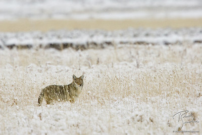 Coyote searching for prey