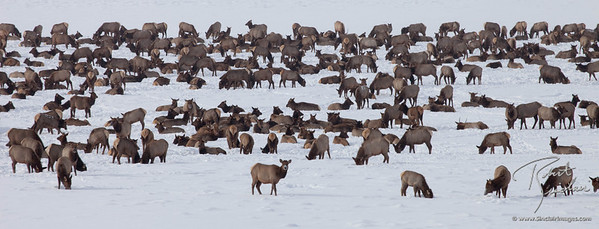 Winter Haven for Elk at the National Elk Refuge, Jackson, WY