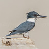 Belted Kingfisher 6/22/16