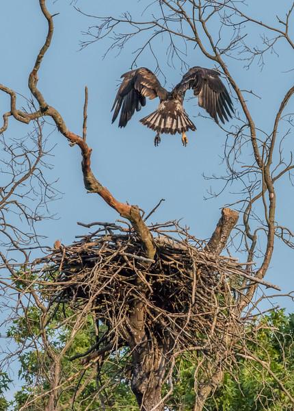 Juvenile Bald Eagle Practicing Flying 7/20/17