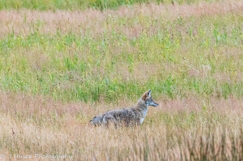Coyote standing in tall grass looking right