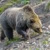 Grizzly Subadult Feeding on Wild Parsley