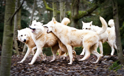 Wolf Pack Play