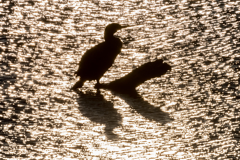 Cormorant Perched on Log at Sunrise 3/15/17