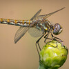 Variegated Meadowhawk on Bud
