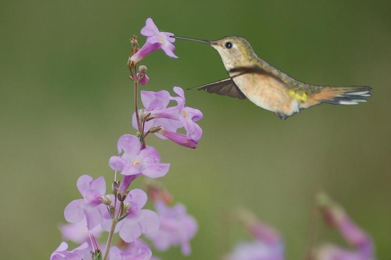 22 - Hummingbird