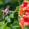 Ruby-Throated Hummingbird 7/18/18