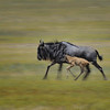 Wildebeest and Calf Running  in Ngorongoro Crater, Tanzania, East Africa