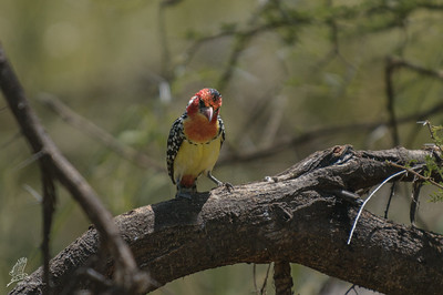 Barbet, Red Yellow (ssp. erythrocephalus)