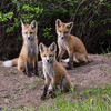 Fox puppies No 2