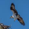 Osprey Landing 4/8/17