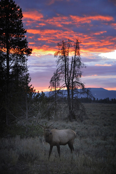 Bull Elk at Sunrise, Grand Teton National Park, Wyoming
