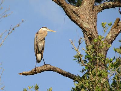 Blue Heron on a Limb