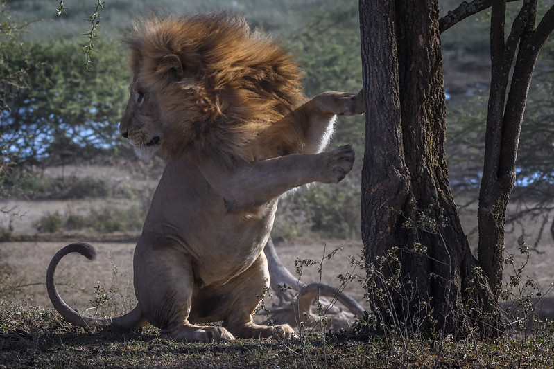 Male lion, Ndutu, Tanzania, East Africa