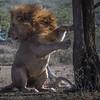 Male lion, Ndutu, Tanzania, East Africa