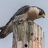 Peregrine Falcon 12/21/16