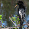 Anhinga Perched on Branch
