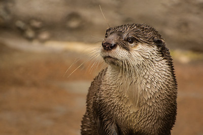African Otter