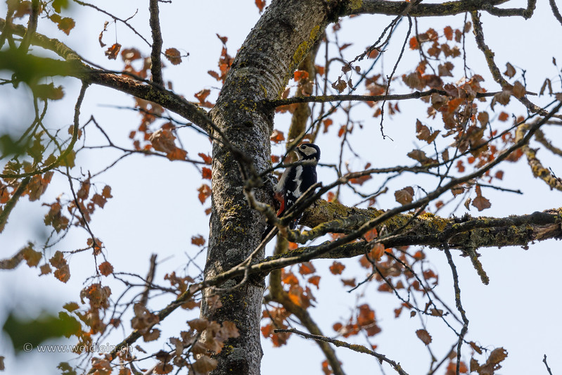 Woodpecker high in the tree