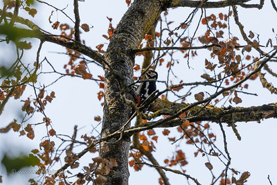 Woodpecker high in the tree