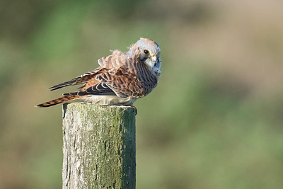 Kestrel Fighting the Wind