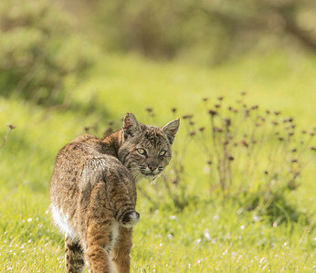 Bobcat hunting, Pt. Reyes