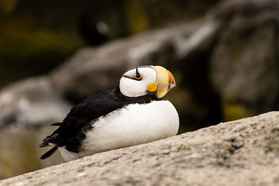 Closeup sideview of one Horned Puffin bird sitting on a rock