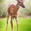 A curious young buck