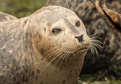 Harbor seal I