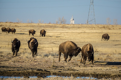 Bison Herd Running to Food