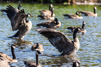 Canada Geese Ballet