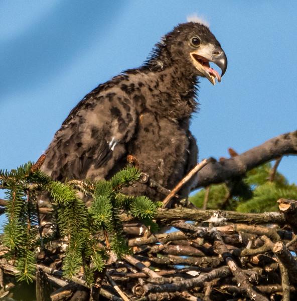 Bald Eaglet in Nest 6/12/17