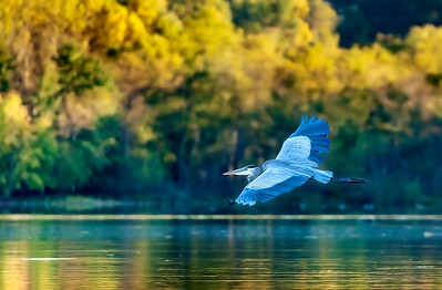 Blue Heron Flight