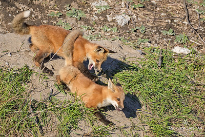 Red Fox (Vulpes vulpes) kits at play. Ontario, Canada