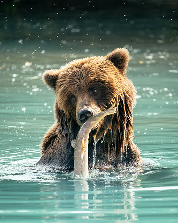 Brown bear, Lake Clark NP, Alaska